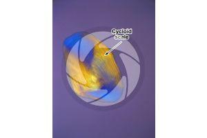 Salmo trutta. Trout. Cycloid scale