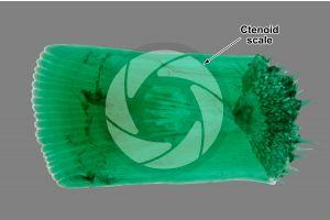 Ctenoid scale