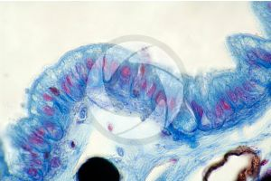 Rana. Frog. Tadpole. Skin and epidermis. Vertical section. 500X