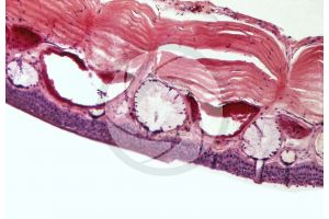 Rana. Frog. Skin and epidermis. Vertical section. 500X
