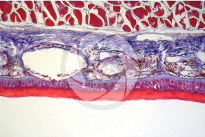 Salamandra salamandra. Salamander. Skin and epidermis. Transverse section. 100X