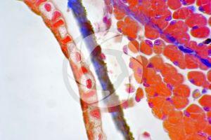 Salamandra salamandra. Salamander. Skin and epidermis. Transverse section. 500X