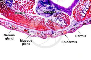 Salamandra salamandra. Salamander. Skin and epidermis. Transverse section. 64X