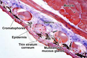 Salamandra salamandra. Salamander. Skin and epidermis. Transverse section. 250X