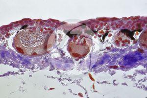 Triturus. Newt. Skin and epidermis. Vertical section. 250X