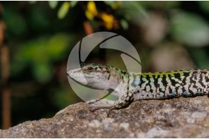 Lacerta. Lizard. Scute. Lateral view