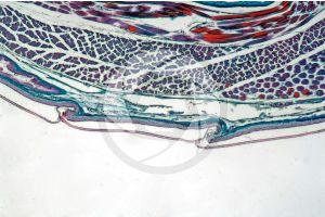 Lacerta. Lizard. Shield-shaped scute. Vertical section. 64X