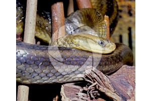 Serpentes. Snake. Smooth scale. Lateral view
