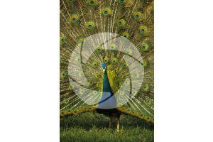 Pavo cristatus. Indian peafowl. Tail feather