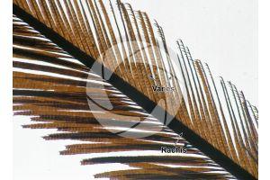 Pavo cristatus. Indian peafowl. Tail feather. 64X