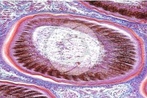Gallus gallus domesticus. Chicken. Skin and epidermis. Vertical section. 100X