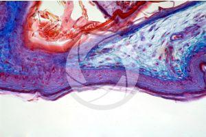 Gallus gallus domesticus. Chicken. Skin and epidermis. Vertical section. 250X