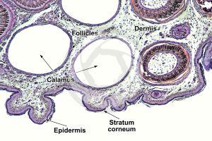 Gallus gallus domesticus. Chicken. Skin and epidermis. Vertical section. 64X