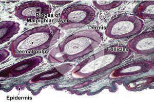 Gallus gallus domesticus. Chicken. Skin and epidermis. Vertical section. 32X