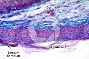 Gallus gallus domesticus. Chicken. Skin and epidermis. Vertical section. 500X