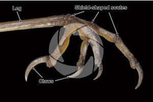 Erithacus rubecula. European robin. Shield-shaped scute. Lateral view