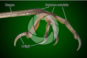 Erithacus rubecula. Pettirosso. Squama scudata. Vista laterale