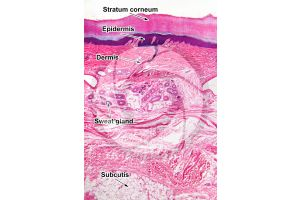 Man. Skin and epidermis. Vertical section. 64X