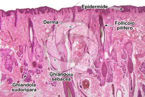 Uomo. Cute e epidermide. Sezione verticale. 32X