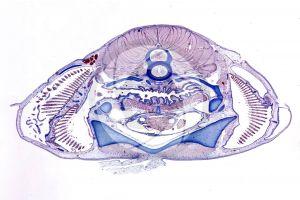 Scyliorhinus. Scyllium. Dogfish. Transverse section. 1X