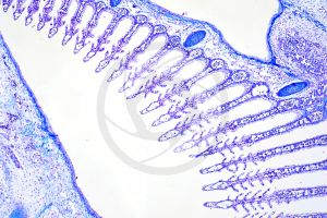 Scyliorhinus. Scyllium. Dogfish. Gill slit. Transverse section. 32X