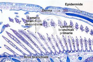 Scyliorhinus. Scyllium. Pescecane. Lamella branchiale. Sezione trasversale. 32X