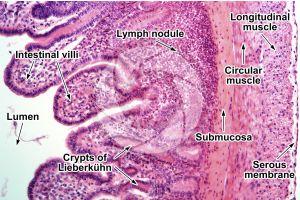 Rabbit. Small intestine. Transverse section. 125X