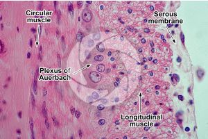 Rabbit. Small intestine. Transverse section. 500X