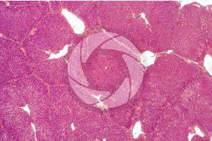 Pig. Liver. Transverse section. 32X