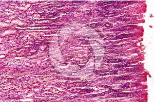 Cow. Abomasum. Transverse section. 125X