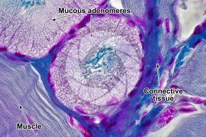 Rat. Salivary gland. Transverse section. 1000X