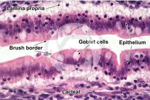 Rat. Small intestine. Transverse section. 500X