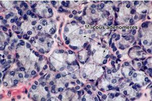 Man. Salivary gland. Transverse section. 500X