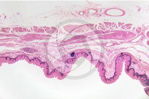 Man. Esophagus. Transverse section. 10X