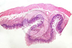 Man. Small intestine. Transverse section. 15X