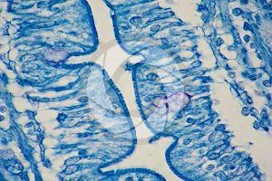 Man. Small intestine. Transverse section. 1000X