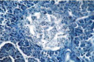 Man. Pancreas. Transverse section. 250X