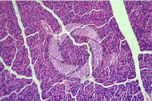 Man. Pancreas. Transverse section. 125X