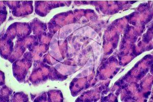 Man. Pancreas. Transverse section. 500X