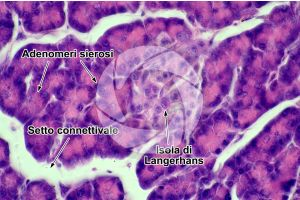 Uomo. Pancreas. Sezione trasversale. 500X
