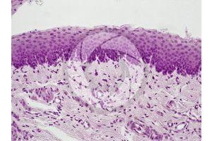 Mammal. Esophagus. Transverse section. 50X