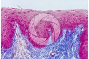 Mammal. Esophagus. Transverse section. 200X