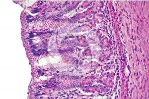Mammal. Stomach. Transverse section. 250X