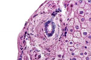 Mammal. Liver. Transverse section. 250X