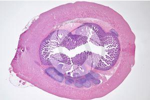 Mammal. Small intestine. Transverse section. 7X