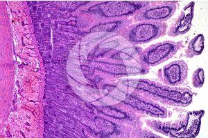 Mammal. Small intestine. Transverse section. 64X