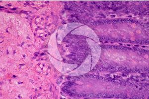 Mammal. Small intestine. Transverse section. 250X