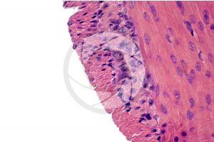 Mammal. Small intestine. Transverse section. 500X