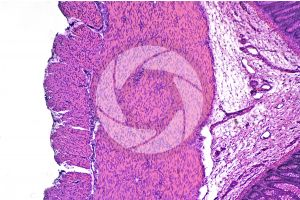 Mammal. Large intestine. Transverse section. 64X
