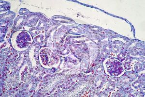 Rana. Frog. Kidney. Transverse section. 250X